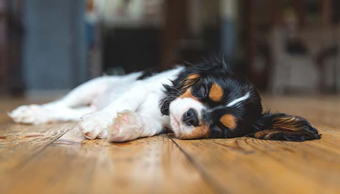 Espasmos Musculares Cães