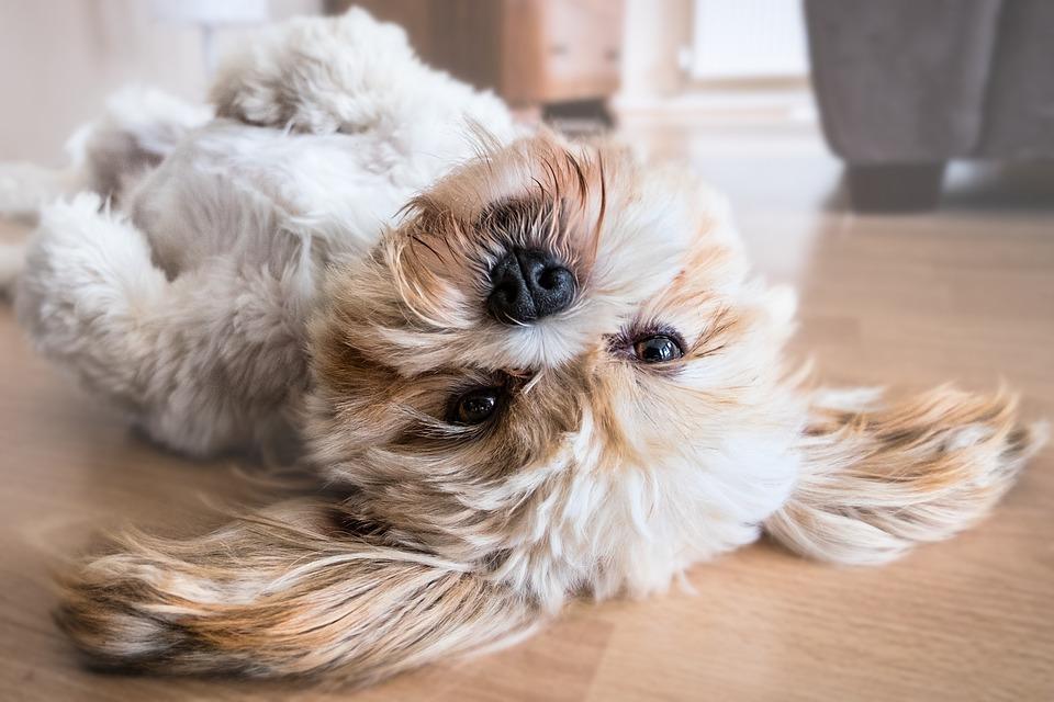 Óleo de Coco para cães: benefícios
