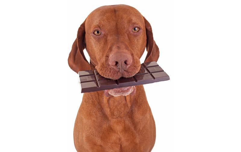 Porque os cães não podem comer chocolate