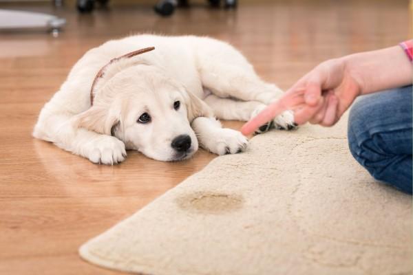 Como ensinar o cão a não urinar no tapete?